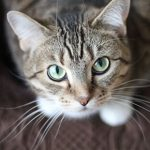 Cats in heat – the facts from Northwich Vets