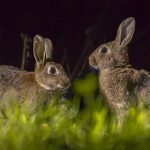 Calming rabbits on fireworks night
