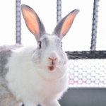 Rabbit owners in Cheshire need this life-saving dental advice