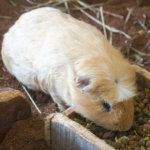 Advice on guinea pig breeding from Northwich Vets