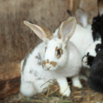 Northwich Vets' share expert advice on flystrike in rabbits